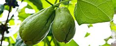 Chuchu é uma trepadeira rústica que pode ser cultivada em vaso - Como o ditado diz, o chuchu adora uma cerca. E a explicação é simples: a planta é uma trepadeira rústica e precisa de um tutoramento, ou seja, uma cerca, um aramado, uma pérgola ou qualquer outra estrutura que suporte seu crescimento para se desenvolver bem. O Brasil é o maior produtor mundial da... - http://www.acompanhantesfamosas.com.br/ecoblog/2014/08/15/chuchu-e-uma-trepadeira-rustica-que-pode-ser-