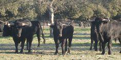 Valdefresno, en Roquefort. Elegidas las ganaderías para Agosto - Mundotoro.com