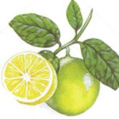 Přání k narozeninám   Chovani.eu Plexus Products, Pure Products, Earl Grey Tea, Lemon Yellow, Natural Essential Oils, Bergamot, Aromatherapy, Lime, Fruit