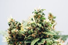 Marijuana's Popularity Among US Adults Continues to Grow. Here's Why http://ift.tt/2uQRs1Y  Marijuana's popularity among American adults is on the rise  and use of the recreational drug is expected to continue to increase according to several surveys.  The increase in popularity along with more permissive attitudes towardmarijuanause may be due in part to its changing legalization status in many parts of the country experts say.  Forty-five percent of adults in the U.S. have used marijuana…