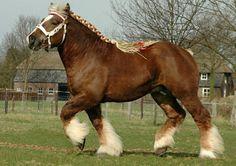 Belgian Trekpaard stallion, Harrie. In its variations, the Belgian is probably the most popular draft horse today. photo: Ton van der Weede.