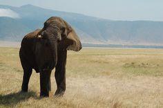 A territorial bull elephant at the Ngorongoro Crater, #tanzania  Photo Credit: orclimber