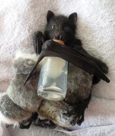 24 Cute Bats Who Are Adorable Enough To Erase Your Fear (Photos) Djurungar 1af6c78b7e0c3