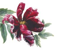 Rosie Sanders Tree Peony 'Suminoichi' Watercolour on Arches 640gsm paper 32 x 40.25ins (81.5 x 102.5cm)