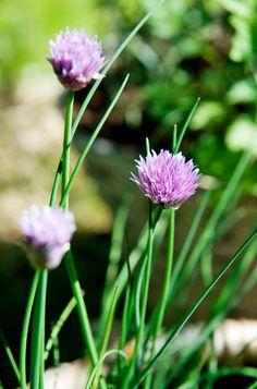 Gräslök, Allium schoenoprasum. En klassiker i köksträdgården. Förutom stråna kan också de vackra blommorna användas i sallader eller buketter, eller torkas som eterneller. Vill man ha nya gröna blad under hela säsongen ska alla blommor knipsas av.