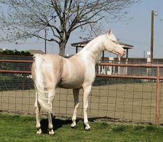 CA Ivory Gold.. Saddlebred stallion
