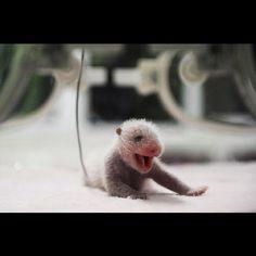 Invisible slip n' slide! Newborn baby panda loves to party. Tiny Panda, Panda Love, Baby Animals, Cute Animals, Animal Babies, All Things Cute, Natural Baby, Cute Babies, Panda Babies