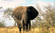 The mighty African Elephant stands regally.
