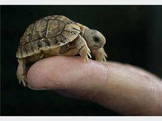 Tiny Turtle <3