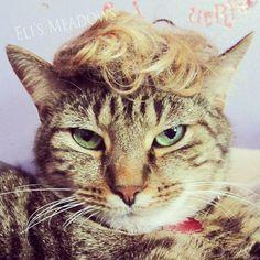 Eli's Meadows - Isti-Pisti, the cat with a hair - looks like Trump ?
