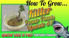 Killer Potato Roots Update And Planting Potato Plant Planting Potatoes, Vegetable Gardening, Roots, Channel, Watch, Twitter, Youtube, Plants, Veggie Gardens