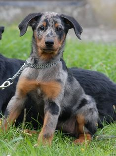 beauceron. i might have to get one!