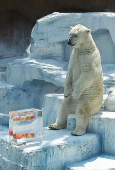 frozen apple blocks for a polar bear ^_^