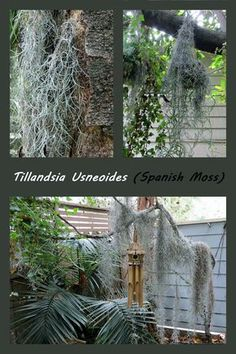 spanish moss on branches