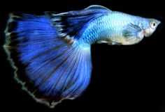 LIVEFINS | Endless Endlers, Round Tail Guppies, Scuds, Live Plants ...