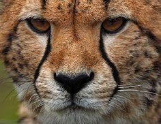 Cheetah 2 - Gepard 2