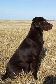 Chocolate Lab... BEAUTIFUL!!!!! Looks like Avery's twin! ...........click here to find out more http://googydog.com