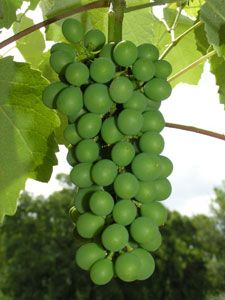 Perlette - $7 Perlette is a large grape with white, thin skin. The flesh is firm, crisp, and juicy. It is very similar to Thompson Seedless, but with a wider climate range. An excellent fruit for table use as well as raisins. Cane pruning. Ripens Mid-July.