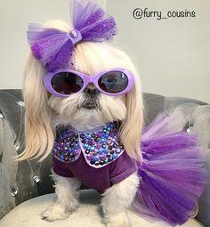 My Bella modeling the HairBow, Collar & Tutu I made. Perro Shih Tzu, Shih Tzu Puppy, Shih Tzus, Funny Dogs, Funny Animals, Cute Animals, Teddy Bear Dog, Bear Dogs, Bella Model