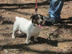 Dandy is an adoptable Terrier Dog in Soddy Daisy, TN. Dandy is a sweet little guy that is just waiting to be your next best friend. He loves dogs and people. He loves to go on walks in the woods and e...