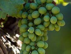 Es la variedad blanca más plantada en Francia, donde las zonas de más producción es en Borgoña y Champagne. Esta variedad también se ve favorecida por las regiones calidas como son las del Nuevo Mundo, como el valle de Napa en California, Mendoza en Argentina, Australia y Nueva Zelanda.