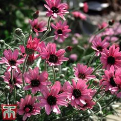 Spruce up your spring planting schemes with this cheery little Moroccan Daisy, Rhodanthemum gayanum 'Pretty in Pink?. Cottage Garden Plants, Pink Garden, Planting Bulbs, Planting Flowers, Hardy Perennials, Pink Daisy, Garden Supplies, Live Plants, Plant Care