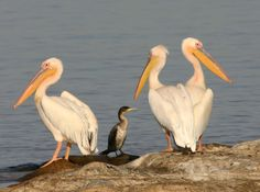 Pelicans are all around my home.