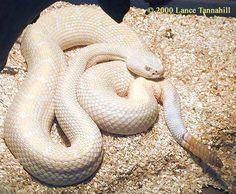 A White Rattlesnake By Lance Tannahill, 2,000
