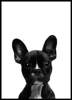 Frenchie Poster in the group Posters & Prints / Insects & animals at Desenio AB (2570)