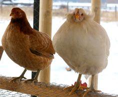 Araucana Chickens are cute!