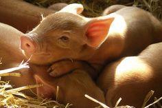 Pig intelligence