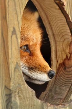 red fox peaking out