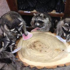 Raccoons Playing Card