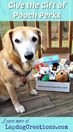 Sophie knows that all good dogs deserve a Pooch Perks box this holiday season! ©LapdogCreations #sponsored: