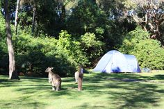 Kangaroo on camp grounds at Discovery Parks - Emerald Beach in NSW. Hiking Tips, Camping And Hiking, Family Camping, Tent Camping, Camping Gear, Camping Hacks, Summer Camp Quotes, Death Valley Camping, Colorado Springs Camping