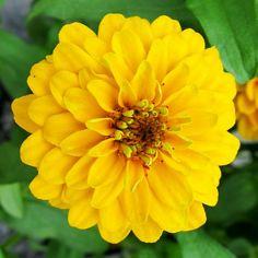 Zinnia Aztec Gold flower garden seeds