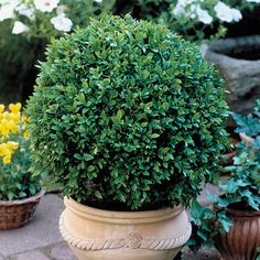 Japanese Boxwood