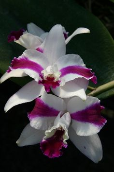 http://www.gunters.com/Images/orchids/Orchid-Pictures---Stern-013.jpg