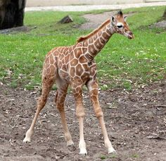 mommy+an++a+dady+an++baby+GIRAFFES | Pictures of Giraffes, Giraffe Facts (Page 2)
