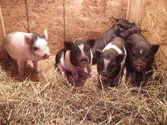 Want one of these mini piglets :)