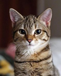Adorable cat face. Tabby cat with beautiful eyes. Cats and Kittens