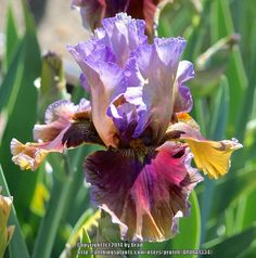 TB Iris germanica 'Cranfil's Gap' (Burseen, 2010)