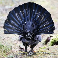Grand Tétras, Western Capercaillie - Mâle! CAPERCAILLIE 5 by Nigel Bewley on Flickr. Capercaillie, Tetrao urogallus. Male. Scotland, UK.