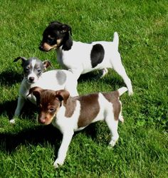 Clearbrook Kennels Rat Terrier and Papillon breeder and puppies in Washington