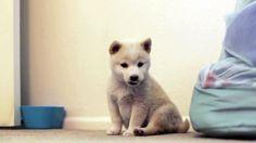 Baby Mika, Creme Shiba Inu Puppy