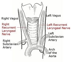 muscles+of+the+anterolateral+neck+and+throat+labeled