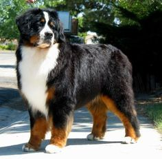 a Bernese Mountain Dog