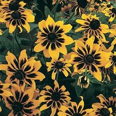 As the Cornflower Montana and Larskspur pull back in the Black Swan planter, Rudbeckia Kelvedon Star begins its turn, picking up the black theme and blending beautifully with the Midnight Runners. Spring Garden, Lawn And Garden, Shade Annuals, Spring Hill Nursery, Perennial Vegetables, Rustic Colors, Black Eyed Susan, Natural Garden, Flower Seeds