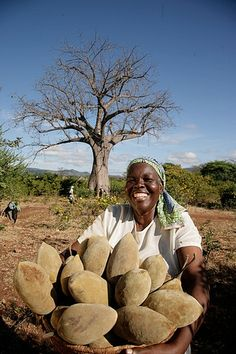 A Bunch of Baobab Fruit. A farmer harvests baobab fruit in southern Africa. The pulp of the fruit is used in drink products and contains nutrients such as Vitamin C, iron and calcium. We Are The World, People Around The World, Around The Worlds, Flora Und Fauna, Future Photos, Out Of Africa, Thinking Day, Exotic Fruit, World Cultures