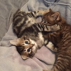 Similar to wild cats, the American Bobtail cat has a unique and wild appearance but they are extremely intelligent and loving cat breeds. Kittens Cutest, Cats And Kittens, Cute Cats, American Bobtail Cat, Seal Point Siamese, Japanese Bobtail, American Curl, Kinds Of Cats, Unique Cats